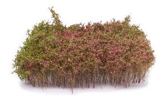 Haies floraison violette